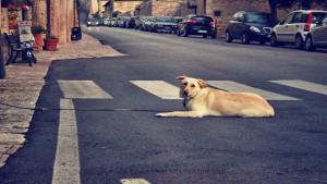 Nessun concorso di colpa se l'incidente è causato da un cane sbucato all'improvviso in strada